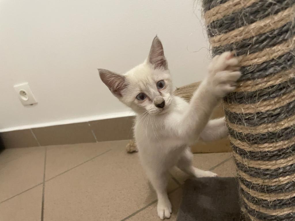 BADOU, chaton mâle seal point de 6 semaines environ - Réservé par Nathalie et sa famille Badou_11