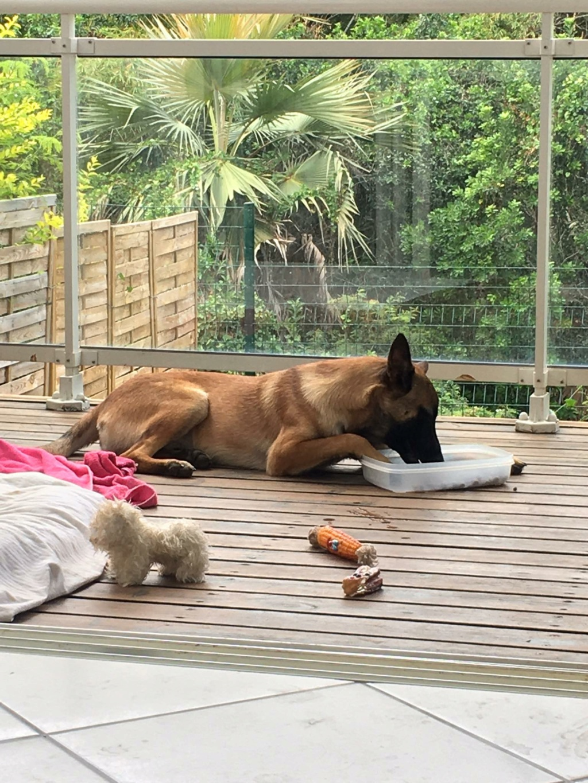 BLAKE, jeune chien fauve masque noir, né le 24/09/2020, 1 an 19 KG-Marrainé par Charlène Blake10