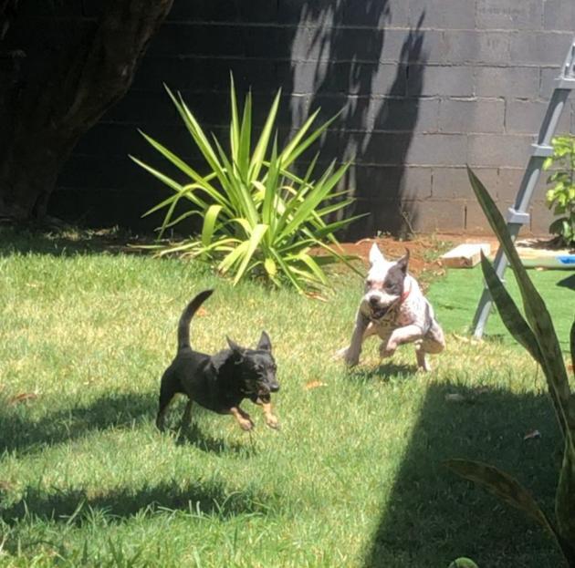 BOULIE, jeune chienne femelle blanche et noire de 10 mois environ pour 12 kg - Marrainée par Régine Boulie19