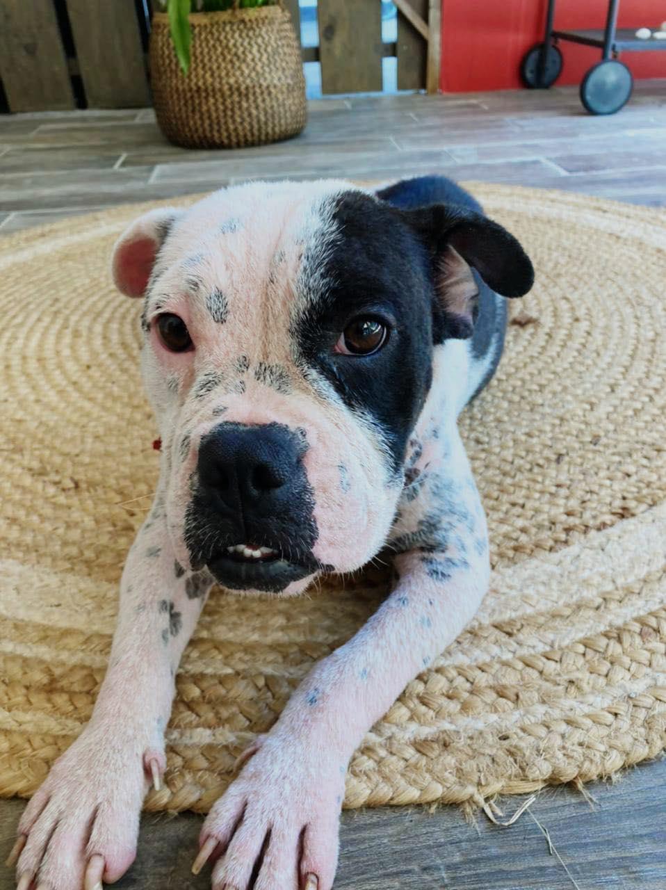 BOULIE, jeune chienne femelle blanche et noire de 10 mois environ pour 12 kg - Marrainée par Régine Boulie21
