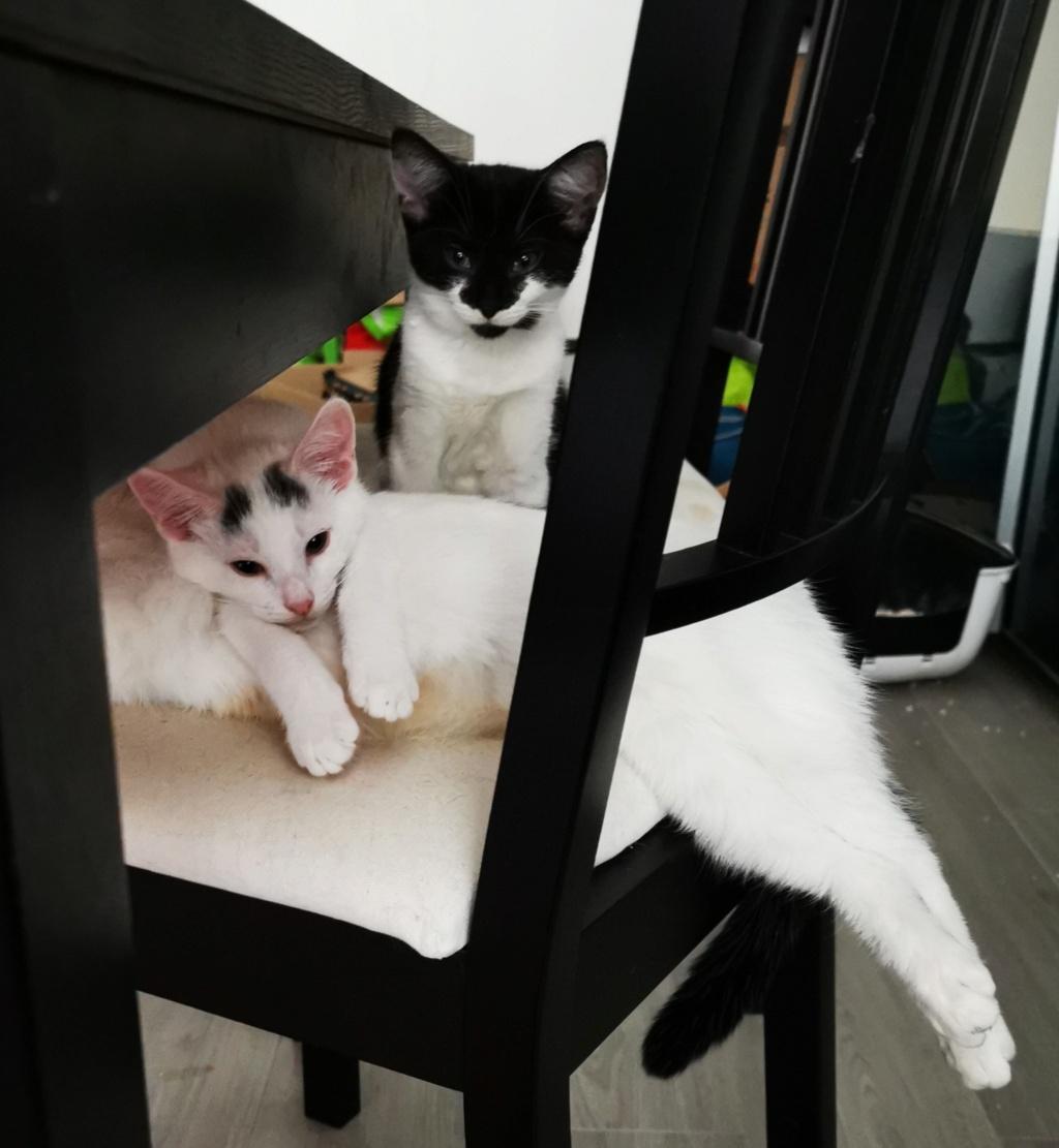 JACK-JACK, chaton blanc avec des tâches grises sur la tête- 3 mois-réservé par Céline et sa famille Bzobzo11
