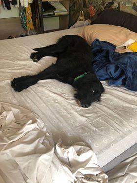 CHOCO, adorable chienne de 2 ans et demi - 28 kg - marrainée par Harfeng - Réservée par Anne Choco11