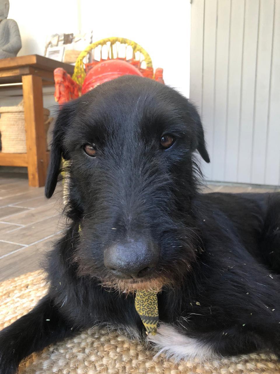 CHOCO, adorable chienne de 2 ans et demi - 28 kg - marrainée par Harfeng - Réservée par Anne Choco_10