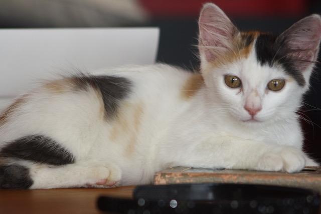 ETOILE, chatonne femelle tricolore de 2,5 mois-réservée par Sabrina E110