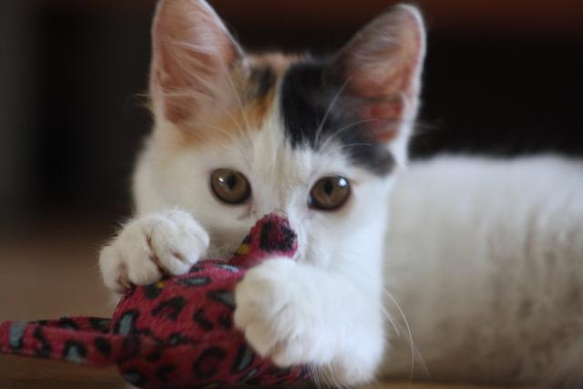 ETOILE, chatonne femelle tricolore de 2,5 mois-réservée par Sabrina E311