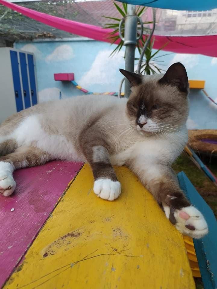 CAPUCCINO, chat mâle typé siamois de 7 ans E4be5e10