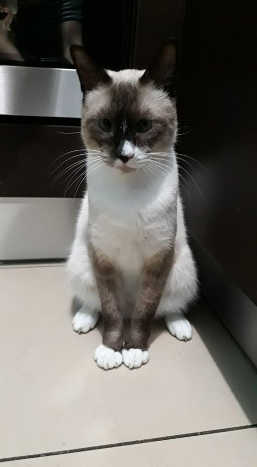 CAPUCCINO, chat mâle typé siamois de 7 ans Ecc48f10