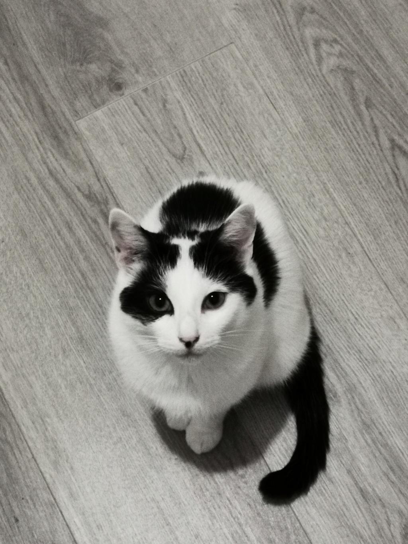 FLECHE, chatonne noire et blanche de 3 mois Elasti10