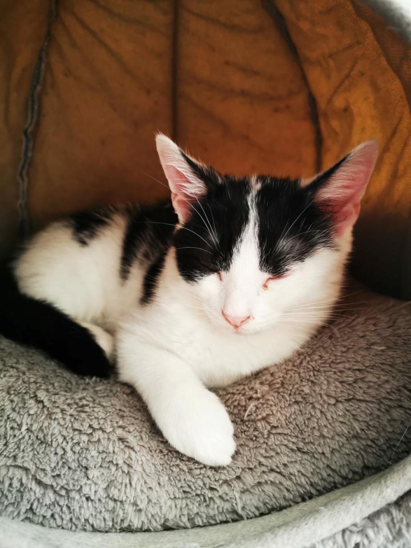 FLECHE, chatonne noire et blanche de 3 mois Fleche11