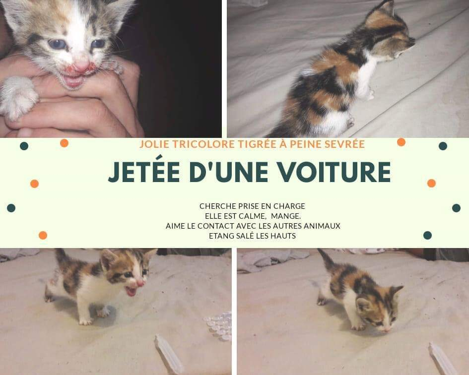 LOTUS, petite chatte tricolore d'à peine 2 mois - réservée par sa famille d'accueil [PERDUE]  Img_0410