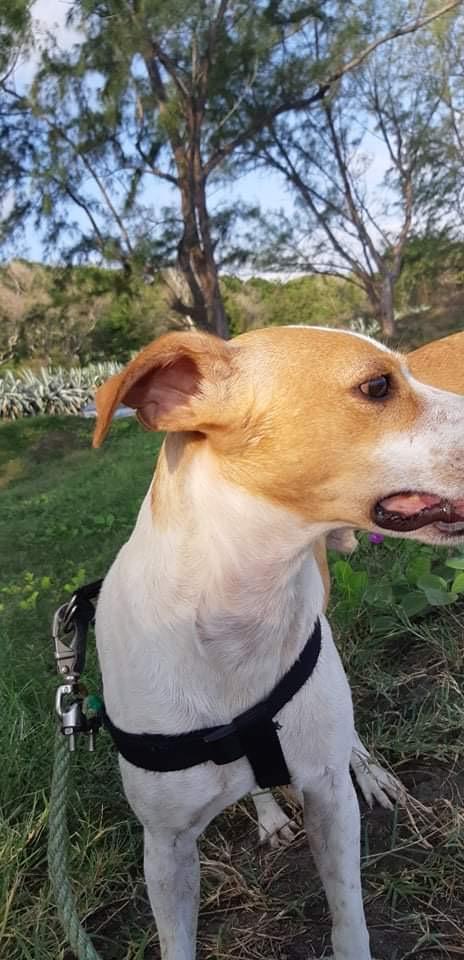 STOPY, chien mâle blanc et marron de 2 ans -Marrainé par Muriel (Phoemo)-Réservé par Valérie Img_1911
