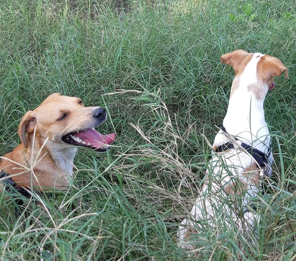STOPY, chien mâle blanc et marron de 2 ans -Marrainé par Muriel (Phoemo)-Réservé par Valérie Img_1914