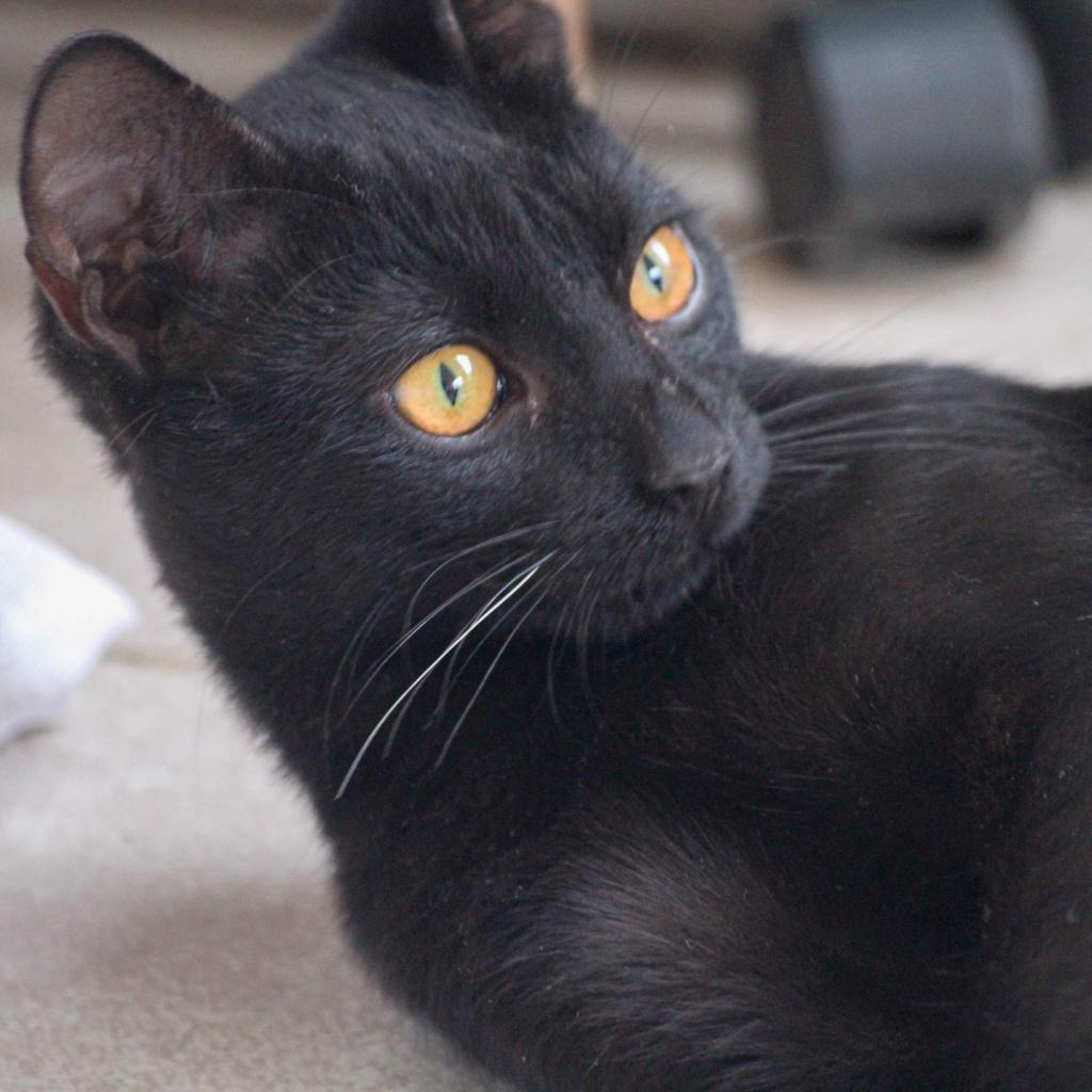 JOHNSON, chaton de 5 mois - marrainé par Maudl - réservé par Tiphaine et Victor Img_7310