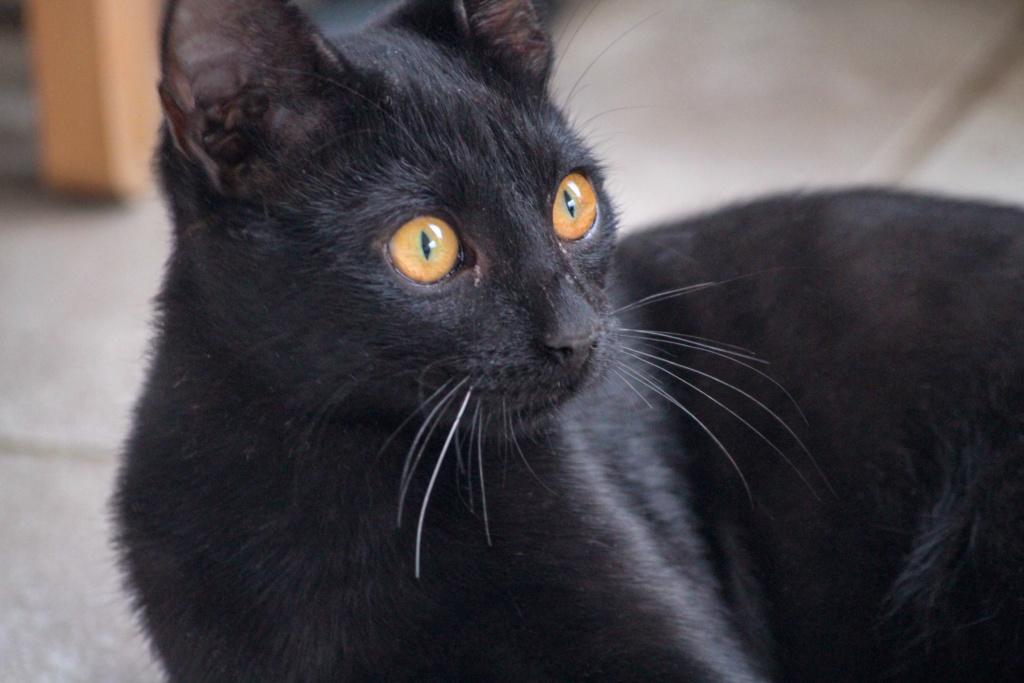JOHNSON, chaton de 5 mois - marrainé par Maudl - réservé par Tiphaine et Victor Img_7312