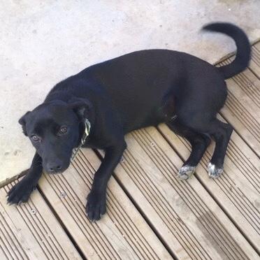 CALYA, chiot femelle typée labrador noire de 8 mois (7 kg) Img_8813