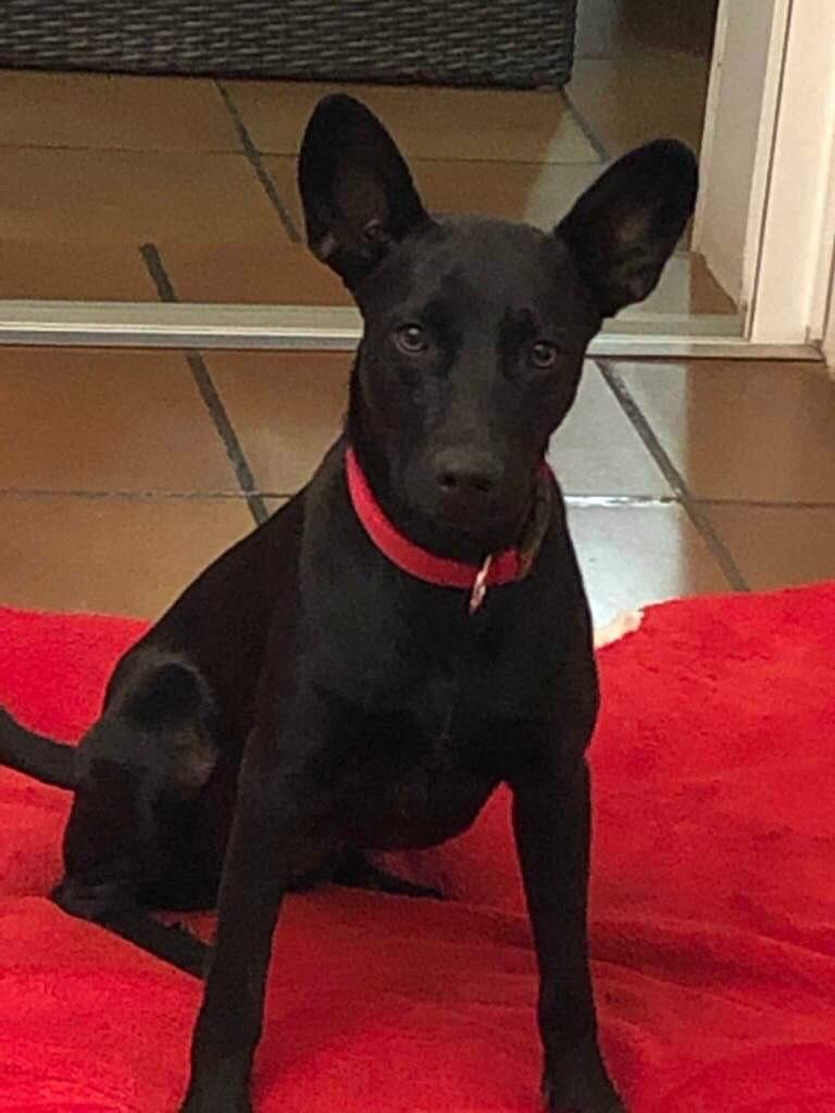 NESSA, maman typée labrador noire de 18 mois (13.5kg) - marrainée par Harfeng Img_9211