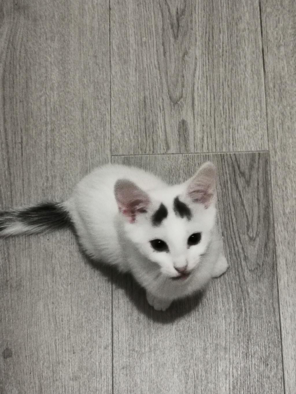 JACK-JACK, chaton blanc avec des tâches grises sur la tête- 3 mois-réservé par Céline et sa famille Jack-j10