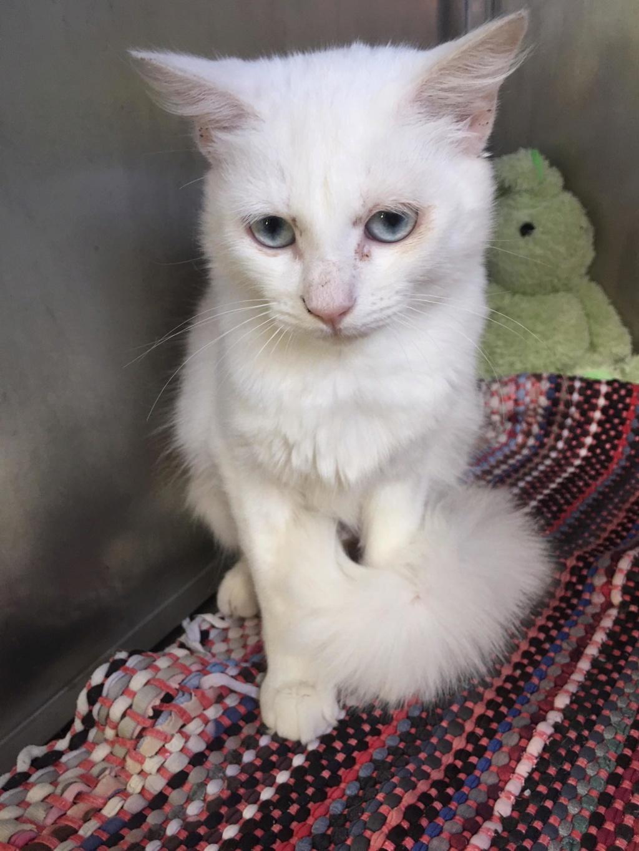 JUNE, jeune chatte blanche aux yeux bleus de 4,5 mois environ Junz10