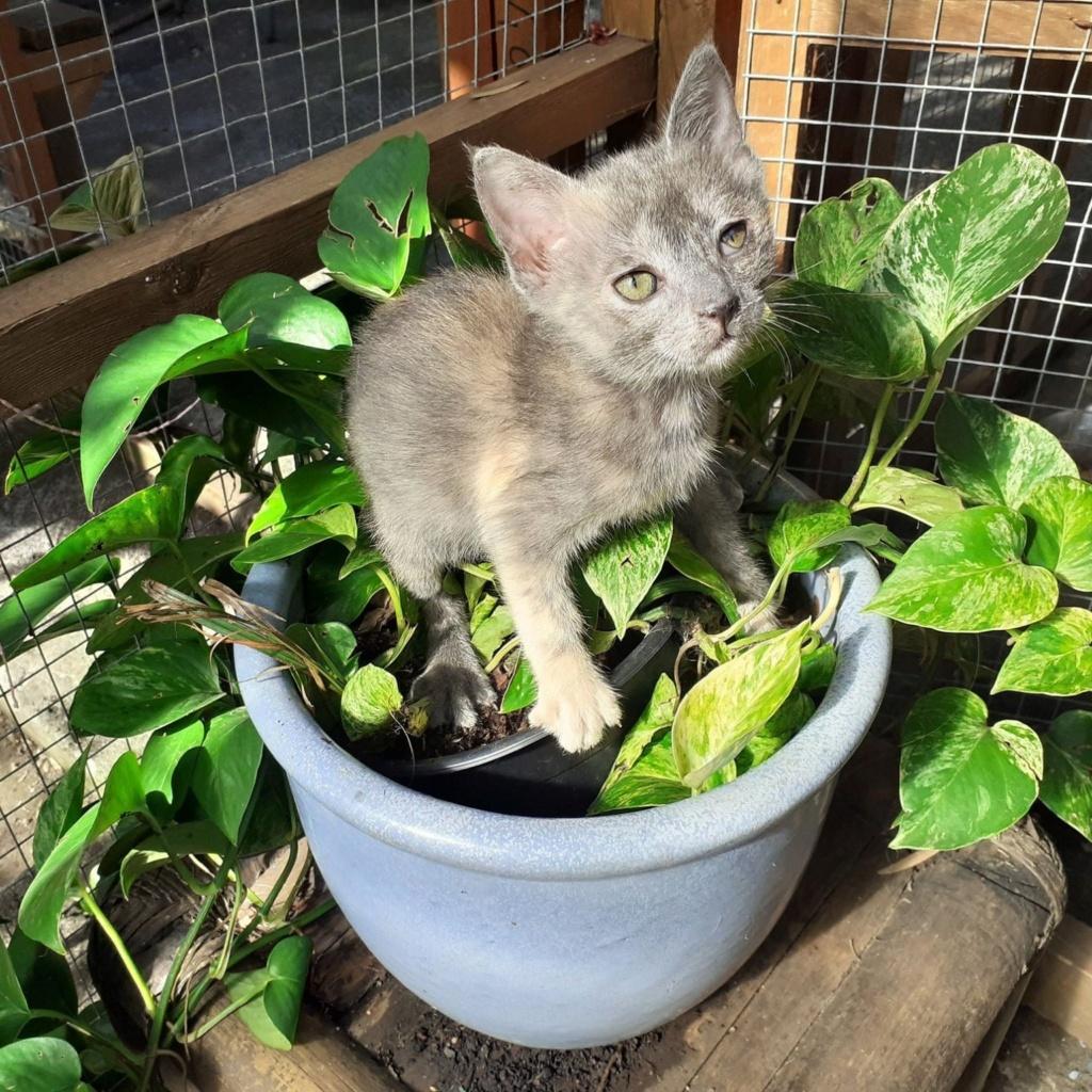 NUA, chatonne écaille diluée de 6 mois  Kea210