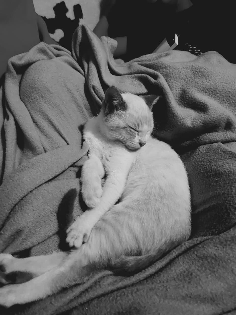 MIA, chaton femelle seal point de 2 mois - Réservée par Gwendoline Mia10