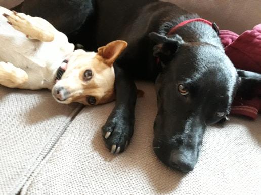 NESSA, maman typée labrador noire de 18 mois (13.5kg) - marrainée par Harfeng Nessa_10