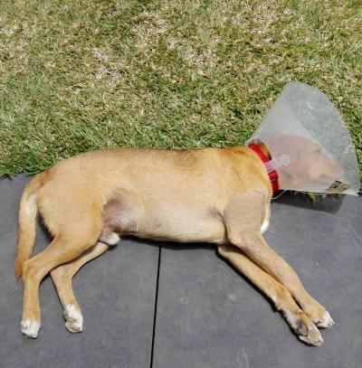 POMPOM, chien d'environ 4 ans pour 10 kg Pompom15
