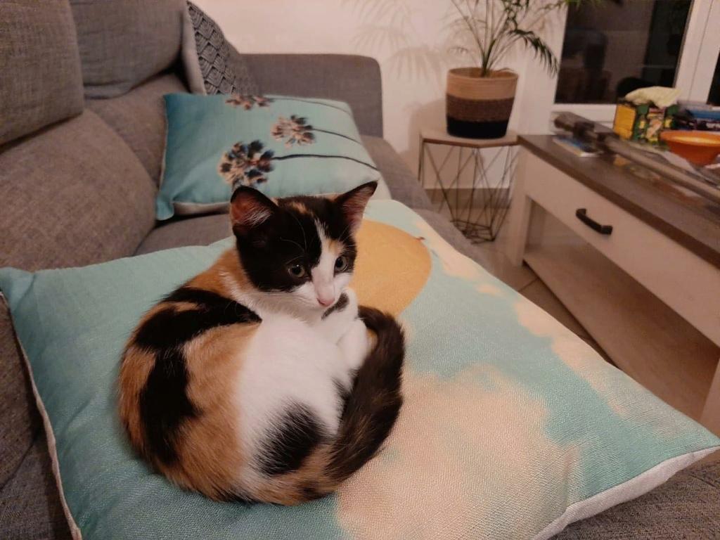 POUPY, chaton femelle tricolore de 6 semaines environ - Réservée à Virginia Poupy11