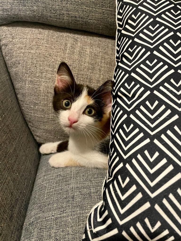 POUPY, chaton femelle tricolore de 6 semaines environ - Réservée à Virginia Poupy12