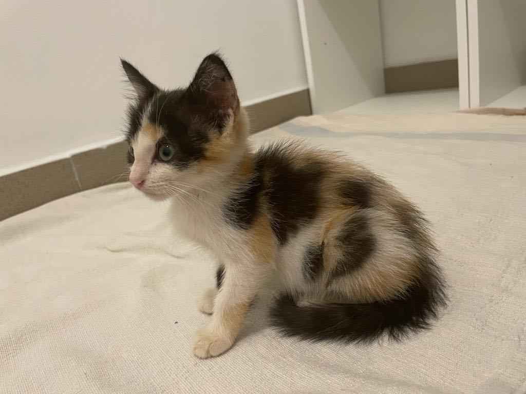 POUPY, chaton femelle tricolore de 6 semaines environ - Réservée à Virginia Poupy_10