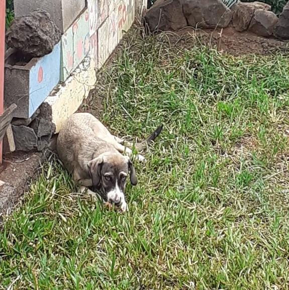 QUEEN'S, chiot femelle croisée berger de 6 mois environ pour 11 kg actuellement Queen_11