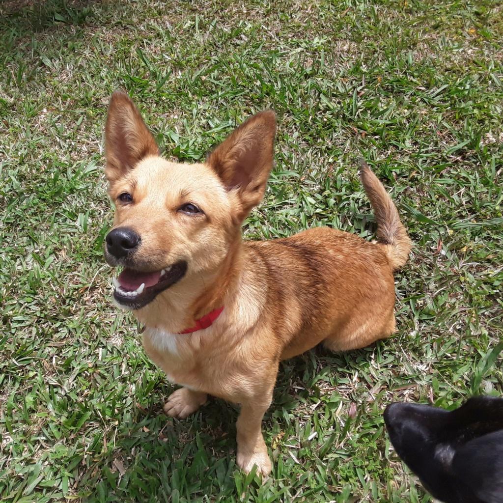 SIMANA, jeune chienne marron de 1 an pour 10 kg - réservée par Elise et sa famille Simana11