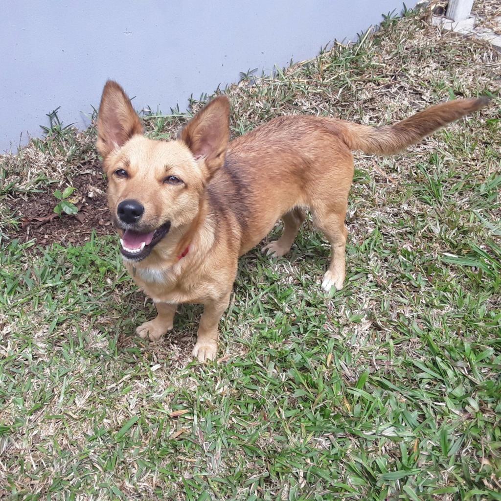 SIMANA, jeune chienne marron de 1 an pour 10 kg - réservée par Elise et sa famille Simana12