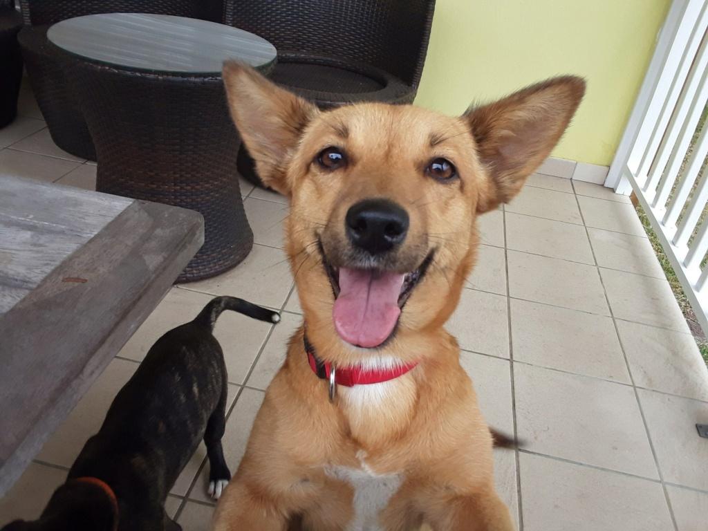 SIMANA, jeune chienne marron de 1 an pour 10 kg - réservée par Elise et sa famille Simana13