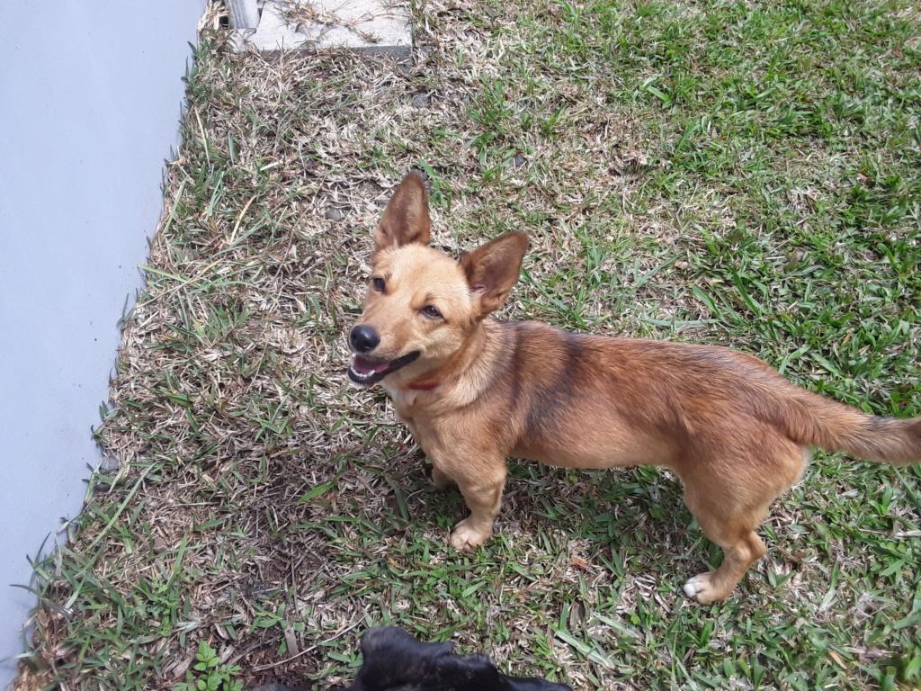 SIMANA, jeune chienne marron de 1 an pour 10 kg - réservée par Elise et sa famille Simana14