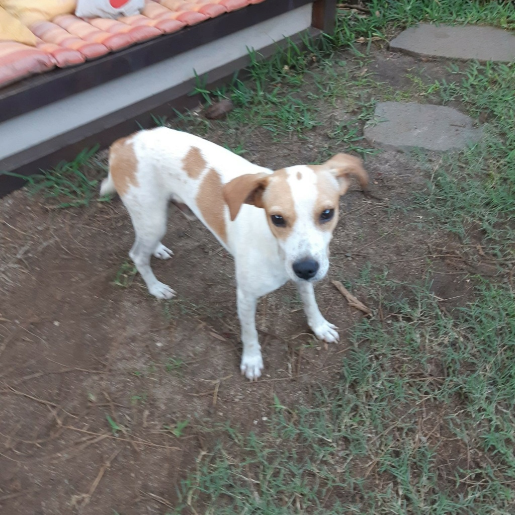 STOPY, chien mâle blanc et marron de 2 ans environ pour 10 kg Stopy_12