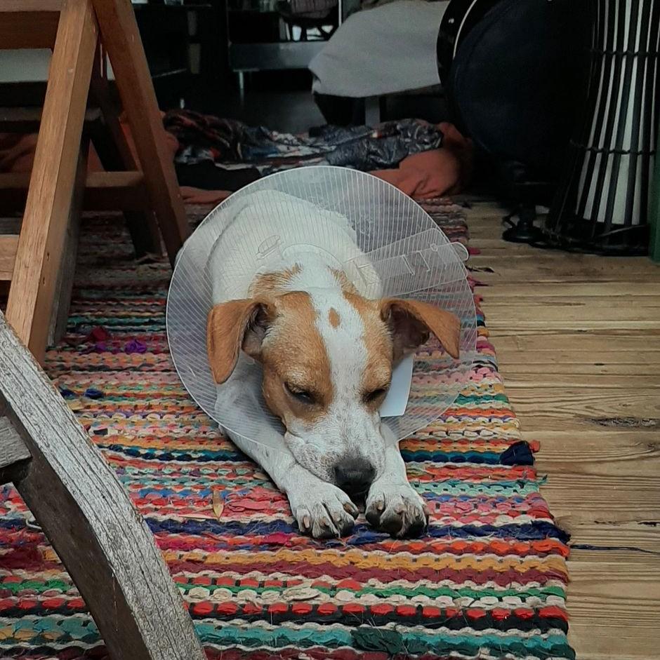 STOPY, chien mâle blanc et marron de 2 ans environ pour 10 kg Stopy_13