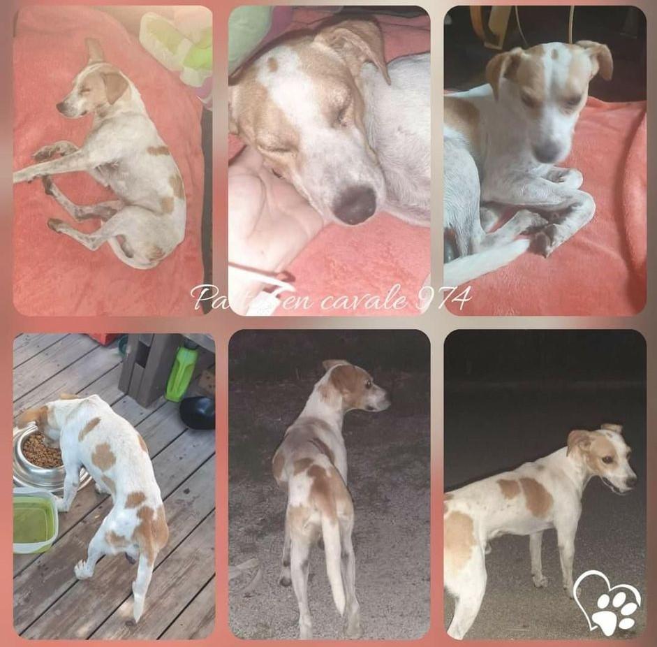 STOPY, chien mâle blanc et marron de 2 ans environ pour 10 kg Stopy_14