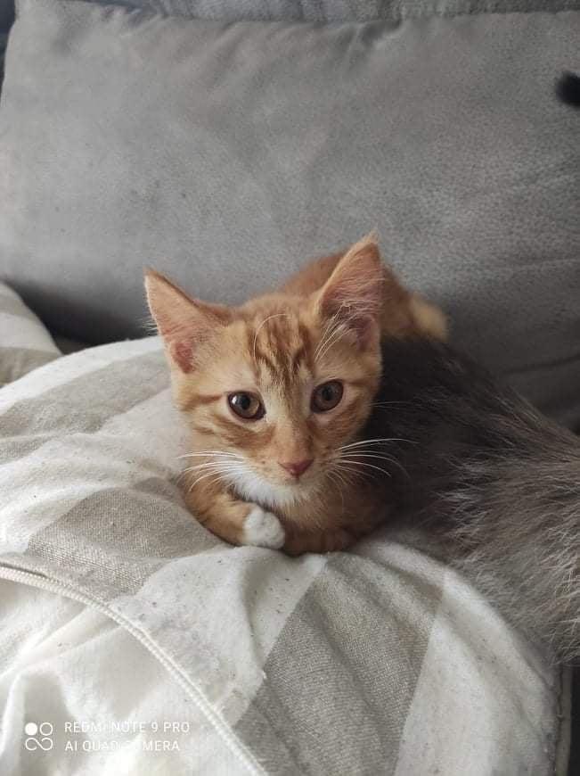 STRAMM, chaton femelle rousse de 3,5 mois environ Stramm10