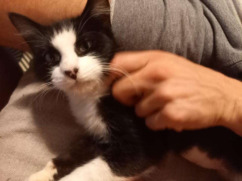 TAM, chatte femelle noire et blanche de 3 ans environ Tam_210