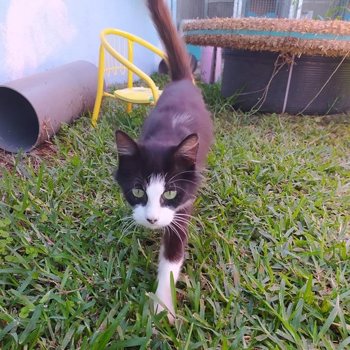 TAM, chatte femelle noire et blanche de 3 ans environ Tam_311