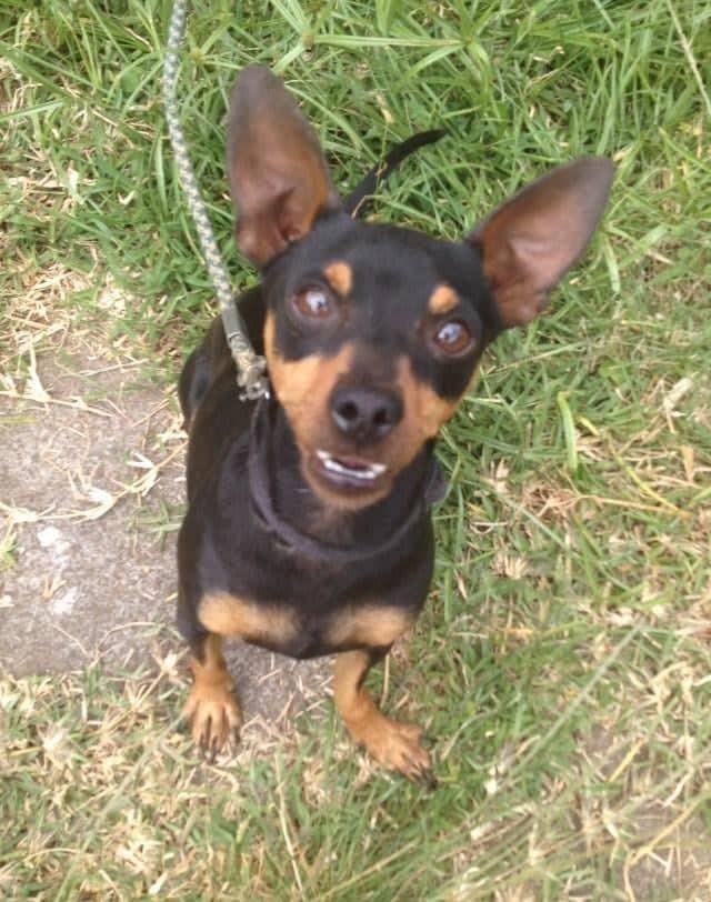 TCHOUPI, petit chien typé Pinscher noir et feu de 5 ans pour 4 kg Tch110