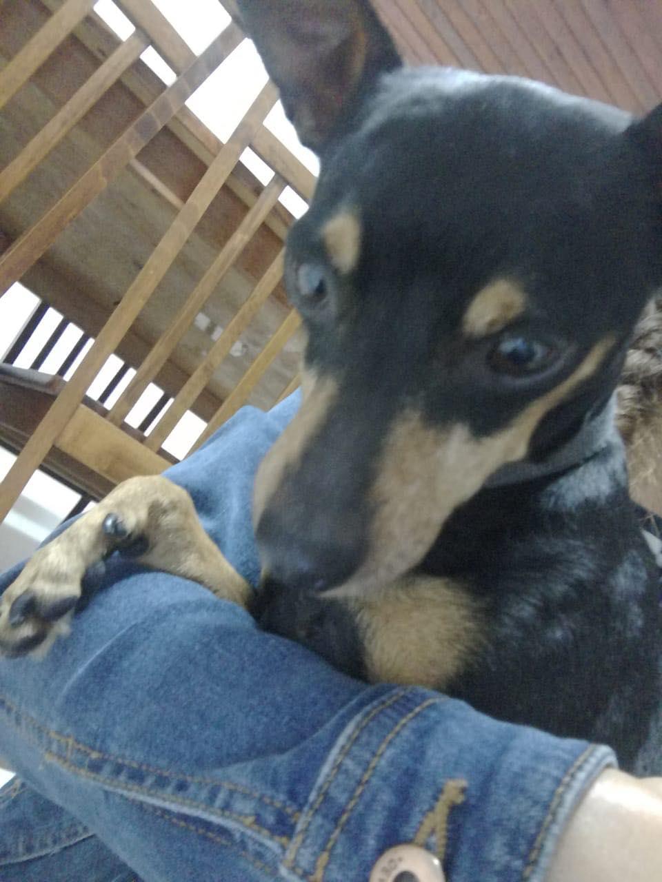 TCHOUPI, petit chien typé Pinscher noir et feu de 5 ans pour 4 kg Tchoup10