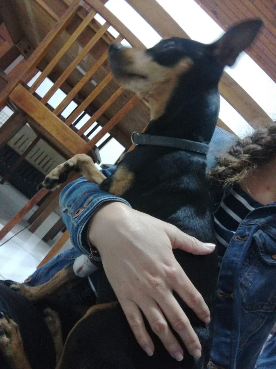 TCHOUPI, petit chien typé Pinscher noir et feu de 5 ans pour 4 kg Tchoup11