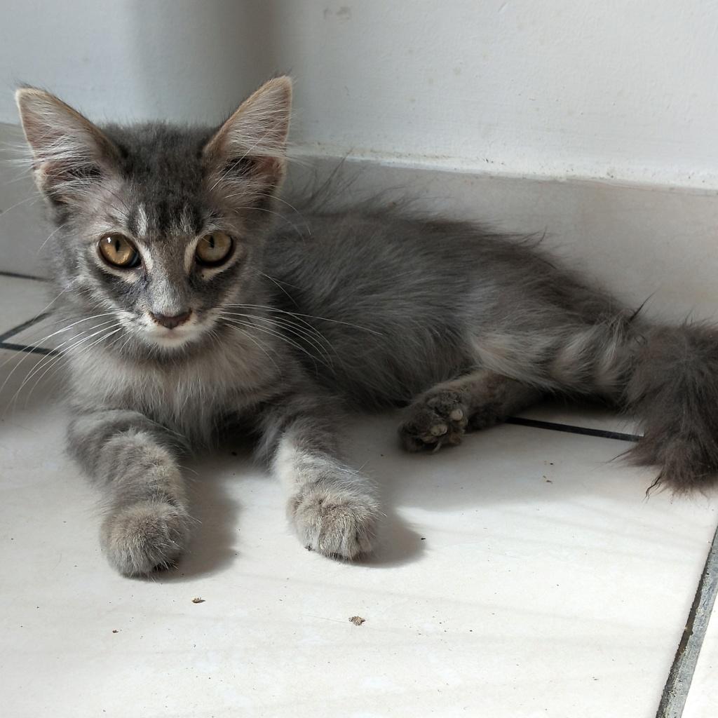 VALI, chaton mâle tigré de 2 mois - réservé par Estelle et son compagnon Vali_110