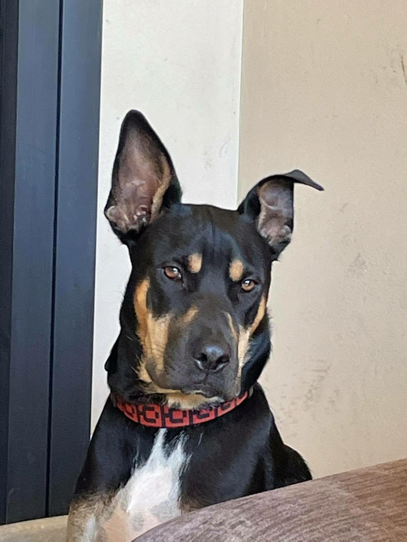 WELCOME, jeune chien mâle 1 an (né le 01/03/2020) - 24 kg - marrainé par Giulia W14