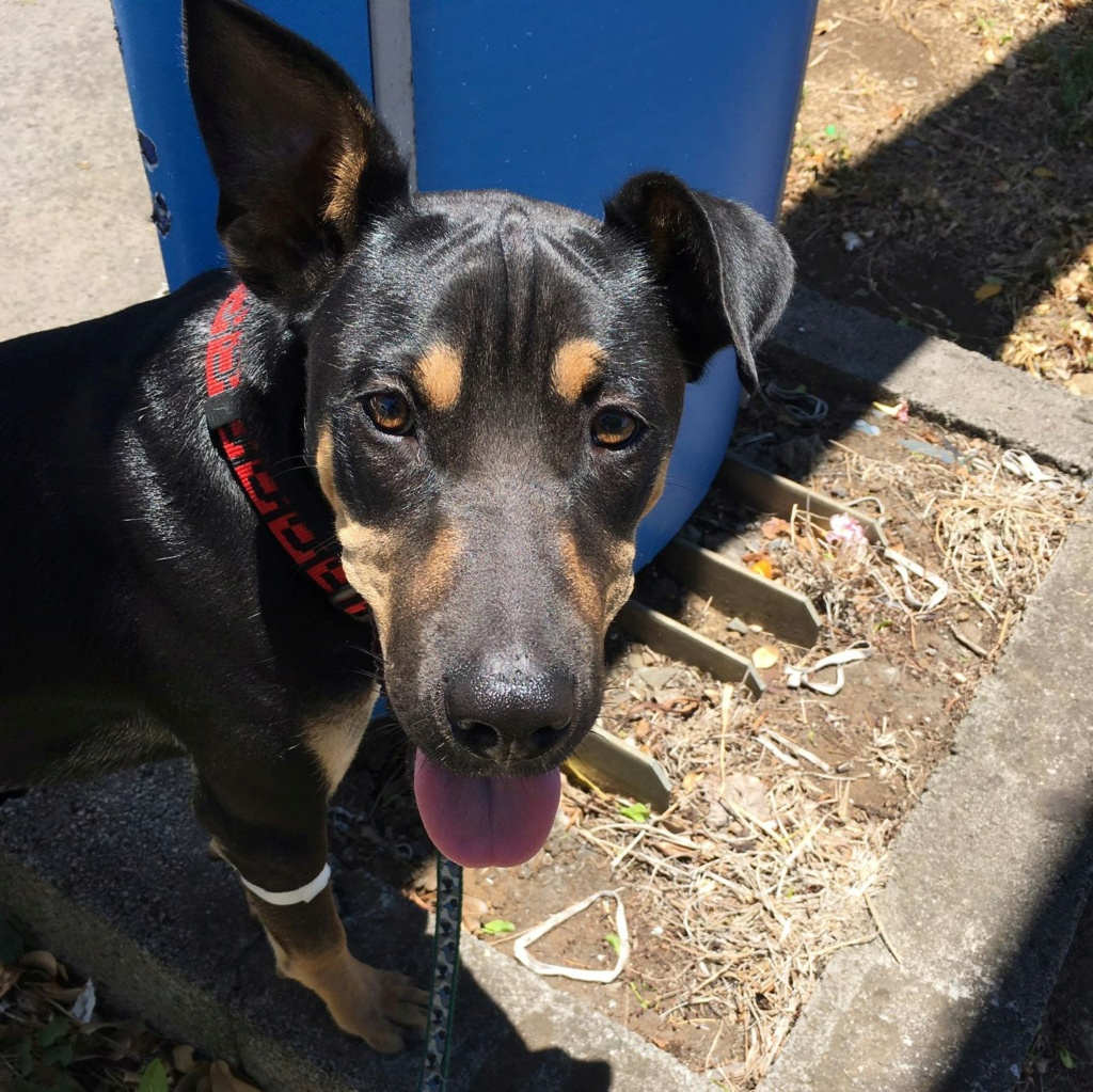 WELCOME, chien mâle Noir et Feu d'environ 10 mois pour 18 kg Welcom12