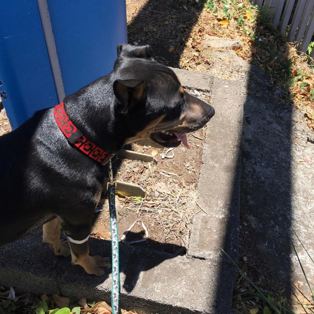 WELCOME, chien mâle Noir et Feu d'environ 10 mois pour 18 kg Welcom14