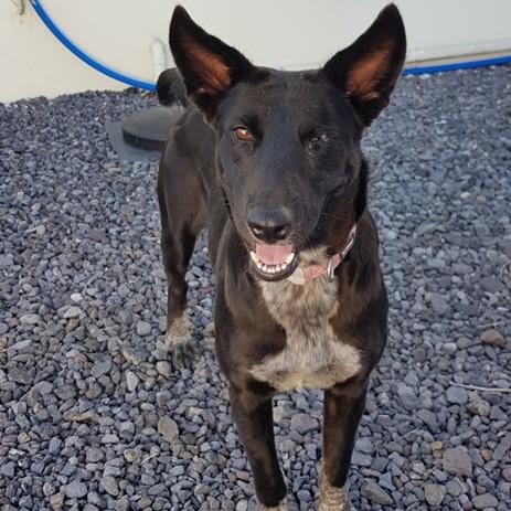 YOKO, jeune chienne noire, borgne d'un oeil, de 1,5 an environ pour 20 kg Y310