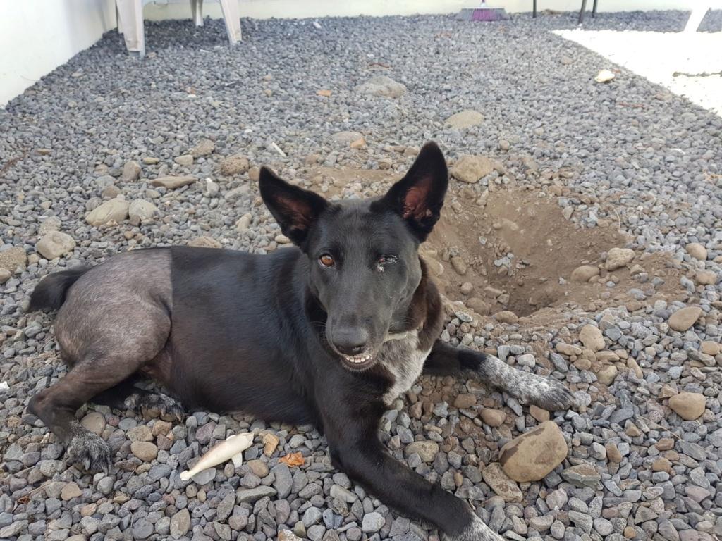 YOKO, jeune chienne noire, borgne d'un oeil, de 1,5 an environ pour 20 kg Yoko110