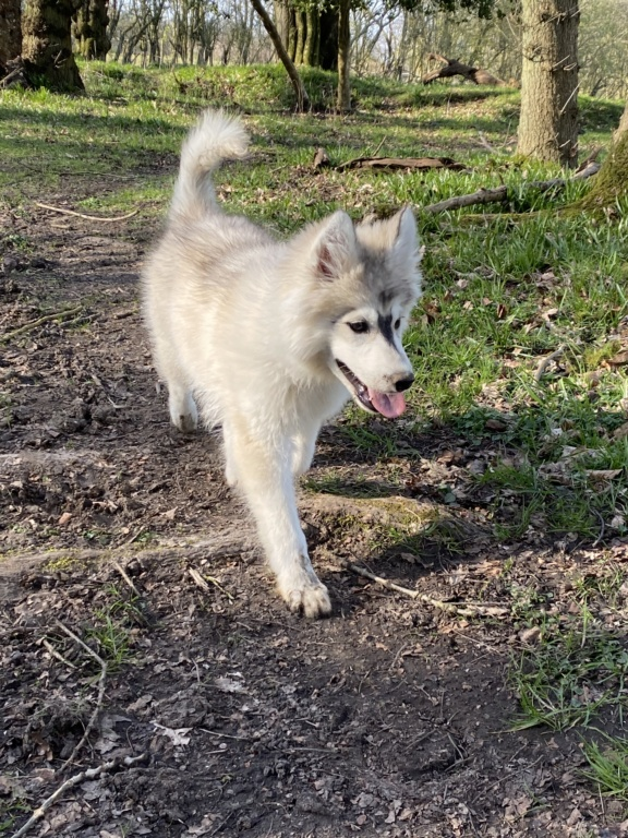 What Colour Is My husky pup 367d9b10